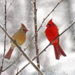 """Winter Cardinal Lovebirds"" by daisyjoan"