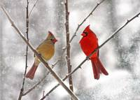 Winter Cardinal Lovebirds