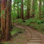 """Path in Muir Woods, California"" by AnnaMiller"