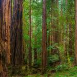 """Muir Woods, California"" by AnnaMiller"