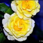 """Dew Kissed Yellow Roses_DSC0060"" by photographybydonna"