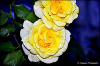 Dew Kissed Yellow Roses_DSC0060