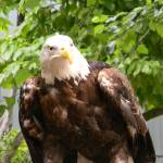 """Captivating Eagle 3-DSCN2386"" by photographybydonna"