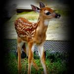 """Little Buck_DSC0382-001"" by photographybydonna"
