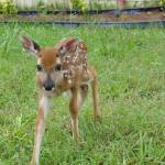 """Little Buck_DSC0385"" by photographybydonna"