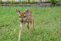 Little Buck_DSC0385