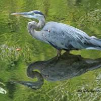 Great Blue Heron Art Prints & Posters by Steve Shelasky