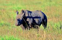 Black Rino Looking at Us, Early Morning