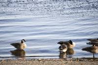 Geese at Shore