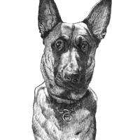 Young Belgian Malinois Art Prints & Posters by Tim Beasley