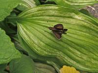 Hosta Leaves and Skipper Butterfly
