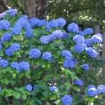 """blue hydrangeas"" by MiniArora"
