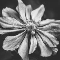Anemone Photographic Art in Black and White Art Prints & Posters by Natalie Kinnear
