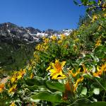 """P1100636 Ruby mtns yellow flowers"" by almarphotography"