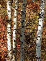 The Joy Of Aspen In Autumn Colours