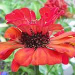 """Zinnia Flower"" by vpicks"