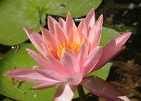 Pink Water Lily Macro