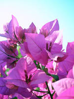 Purple Bougainvillea 2