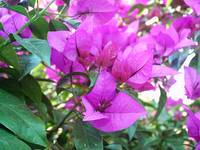 Purple Bougainvillea 4