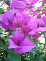 Purple Bougainvillea 3