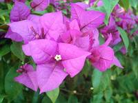 Purple Bougainvillea 5