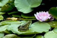 Frog sitting on a Lily Pad  #3