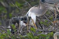 95 Great Blue Heron Feeding Young03 01 12_2907