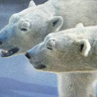 brothers on smooth-ice polar bears Art Prints & Posters by r christopher vest