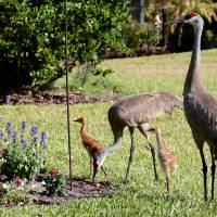 Sandhill Family Day Art Prints & Posters by Carol Groenen