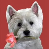 WESTIE HAS A ROSE FOR YOU
