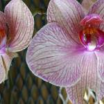 """a pair of orchids in paradise"" by Anewsgal"