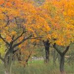 """Golden Rain Tree    7072"" by watersedge"
