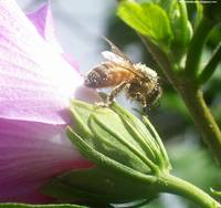 Bee Covered In Pollen On Rose Of Sharon