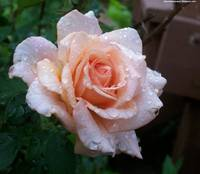peach rose with water droplet