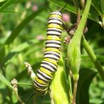 """Caterpillar For Nature Wallpaper"" by 1greenthumb"