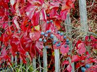 IBSP Virginia Creeper & Berries in Autumn