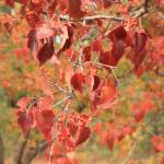 """Beautiful Autumn Reddish Orange Leaves"" by Groecar"