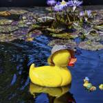 """Duckie In the Lily Pond"" by PaulCoco"
