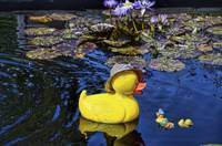 Duckie In the Lily Pond