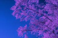 Tree in Infrared