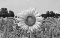 Black and White Sunflower In Field