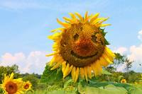 Smiley Sunflower