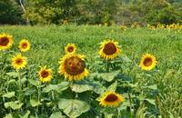 Smiley Sunflower Field