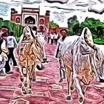 """Cows at the Taj"" by kFergPhotos"