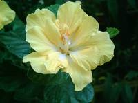 Yellow Hibiscus 5