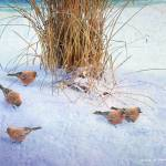 """winter brown-capped rosy finches"" by rchristophervest"