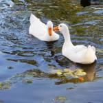 """2 white ducks"" by globetrotter1"