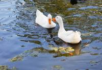 2 white ducks