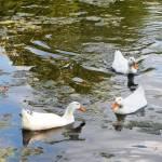 """3 white ducks Aug 31 2015"" by globetrotter1"