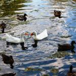 """White ducks surrounded"" by globetrotter1"